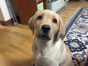 こちらを見上げるラブラドールの子犬