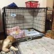 お笑い芸人トータルテンボス(イタズラ好き大村)がパピーウォーカーに!盲導犬候補エミルと家族の物語