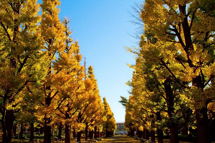 慶應大学の銀杏並木