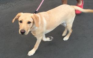 散歩中のラブラドールの子犬
